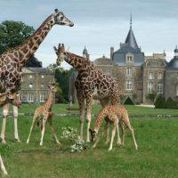 Girafe-3petit-HD.jpg